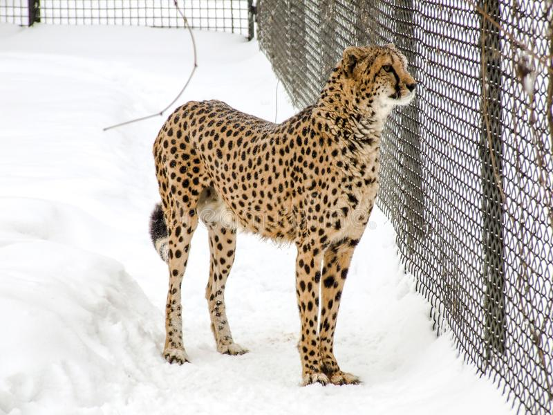 Cheetah in snow in zoo. royalty free stock images