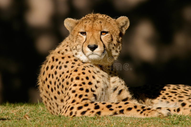 Download Cheetah, South Africa stock photo. Image of resting, eyes - 1493614