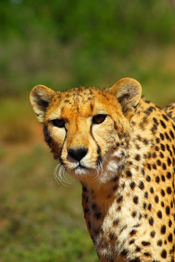 Download Cheetah in South Africa stock image. Image of africas - 6491371