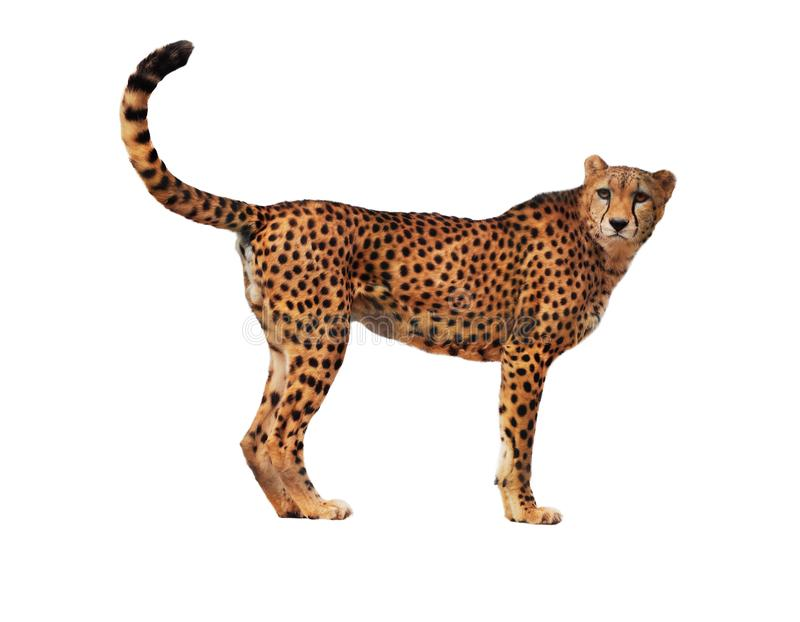 Cheetah spotted isolated at white royalty free stock images