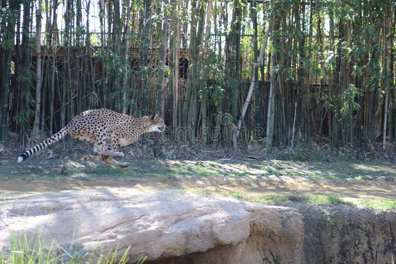 Cheetah sprinting RKS stock photography