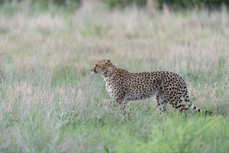 Cheetah Stalking Stock Photo