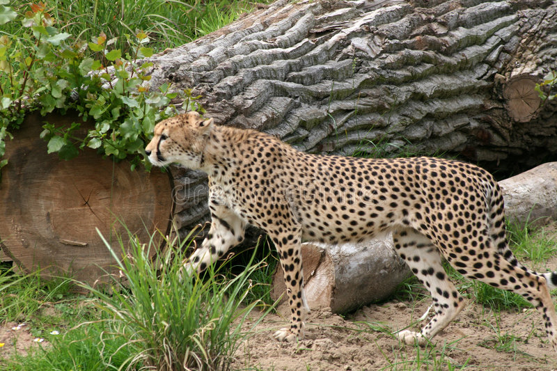 Cheetah Stalking Alert in Grass royalty free stock images