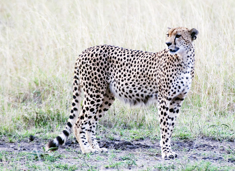 Download Cheetah Standing Stock Photography - Image: 1402222