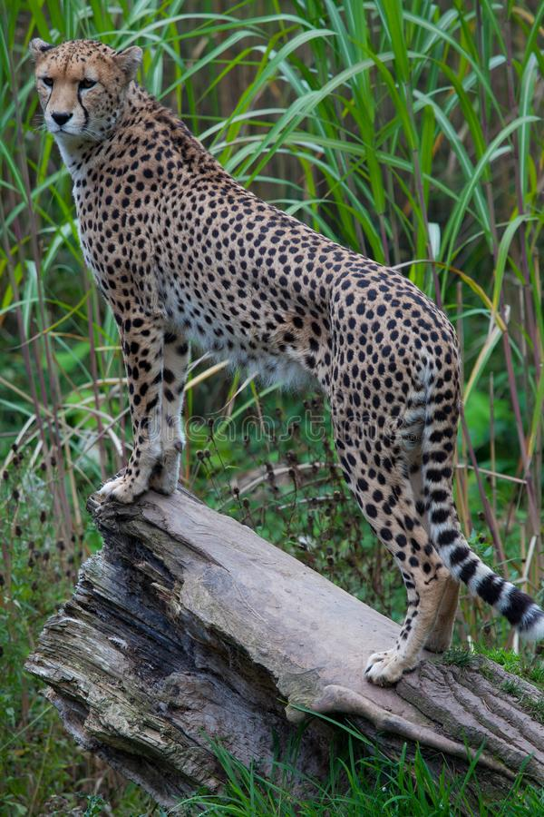 Cheetah standing on a log. A cheetah stands upon a large log in some long grass looking at something located off the camea stock image