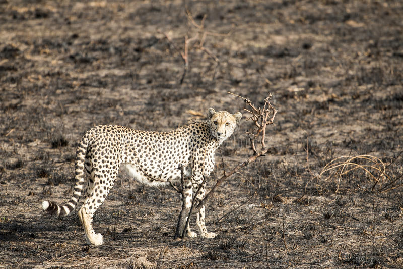 Cheetah standing and staring royalty free stock image