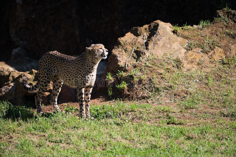Cheetah stands in field basking in sunshine royalty free stock images