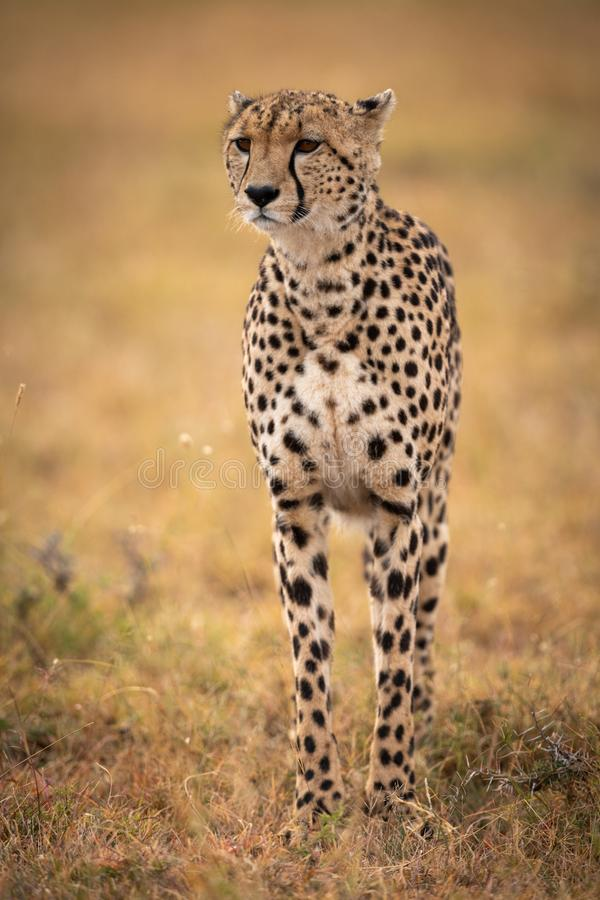 Cheetah stands in grassy plain looking forwards royalty free stock photo