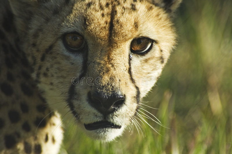 Download Cheetah stare stock image. Image of cheetah, wild, savannah - 1362251