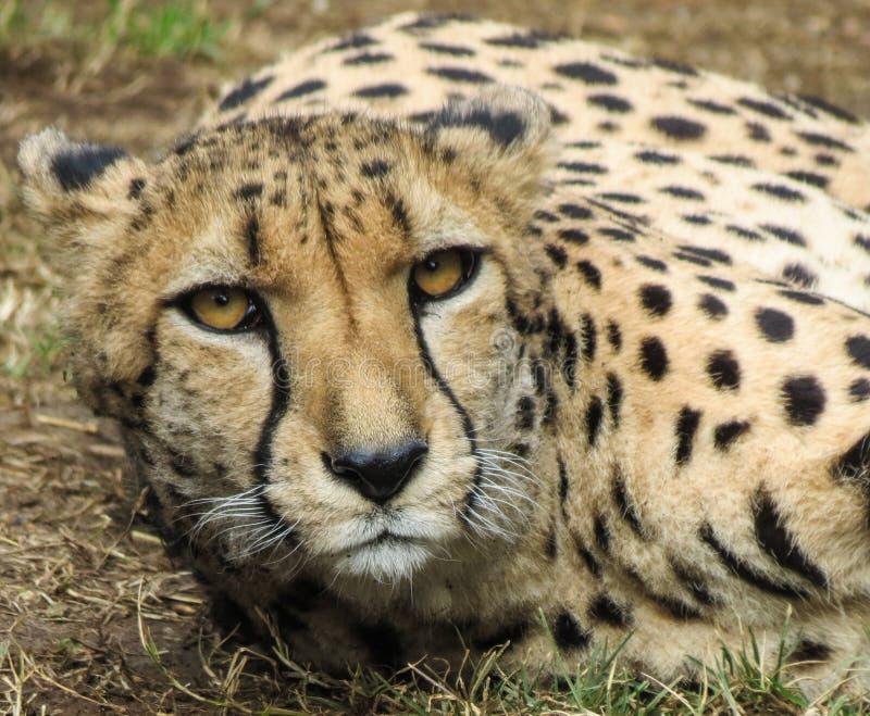 Cheetah stare stock image