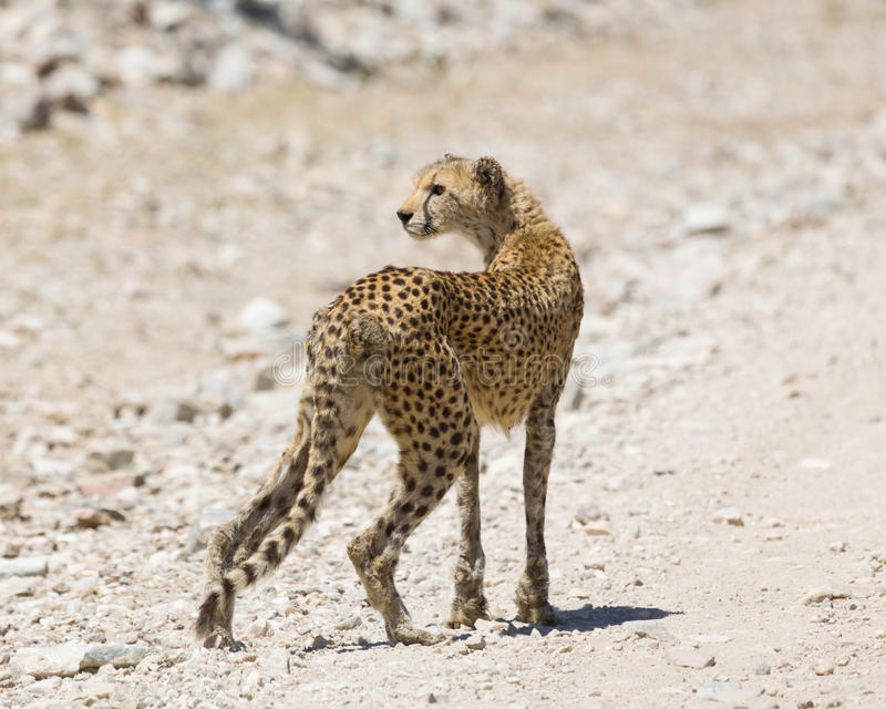Download Cheetah Staring In Ngorogoro Stock Photo - Image: 25848458
