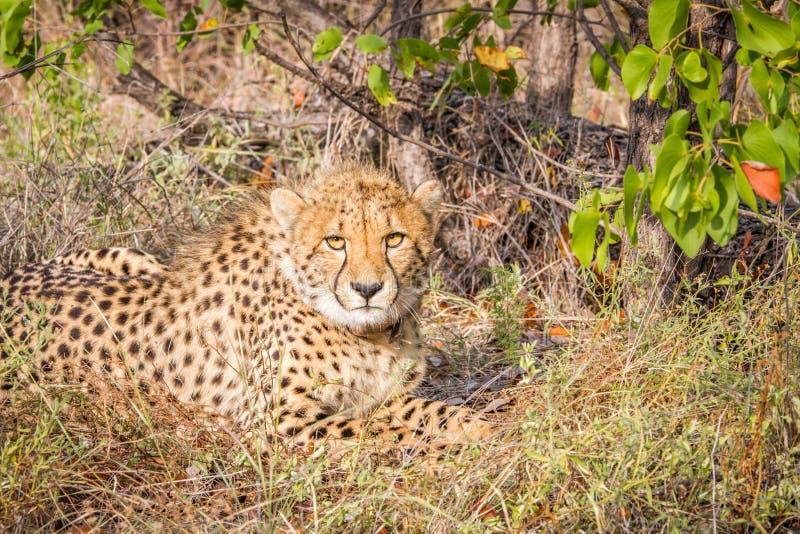 Download Cheetah Starring At The Camera. Stock Image - Image: 83718173