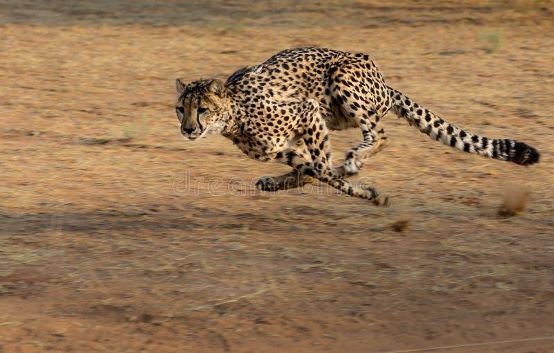Cheetah, Terrestrial Animal, Wildlife, Mammal Free Public Domain Cc0 Image