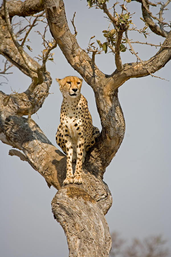 arab persian lion black symbol heraldry Baby Light ... |Iranian Cheetah Vector