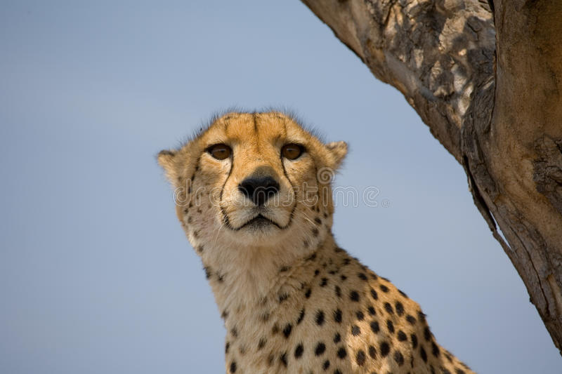 Download Cheetah Up A Tree In Africa Stock Photo - Image: 11206656
