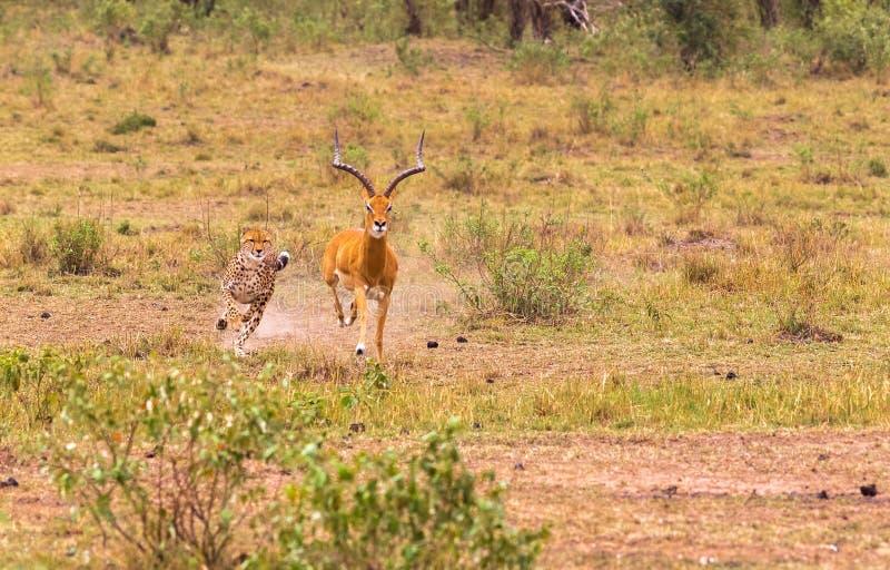 Photo series: Cheetah hunting for big Impala. The very fast episode. Masai Mara, Kenya stock photo