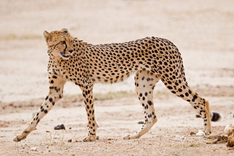Cheetah walking in dry riverbed royalty free stock photography