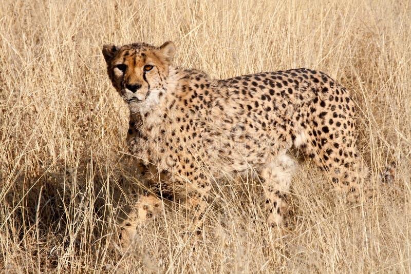 Cheetah walking in grass