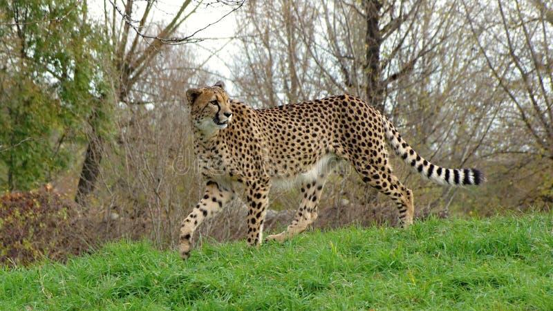 Download Cheetah walking on grass stock photo. Image of captivity - 28178558