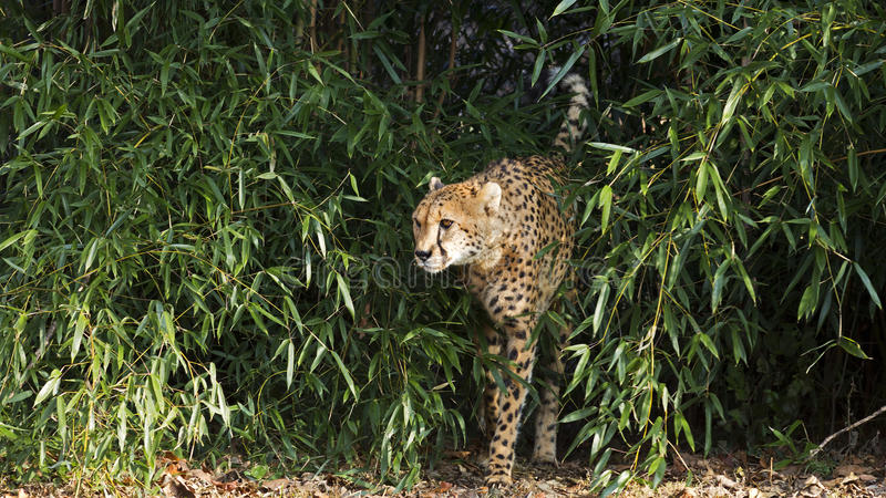 Cheetah walking stock image