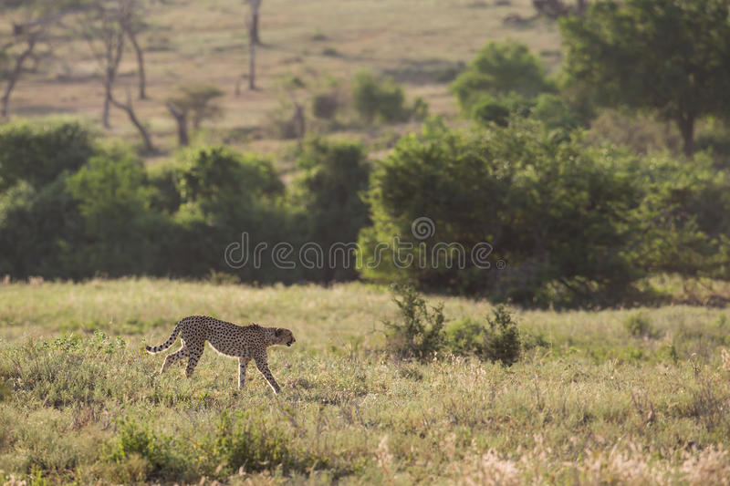 Cheetah walking in savannah South Africa royalty free stock photography