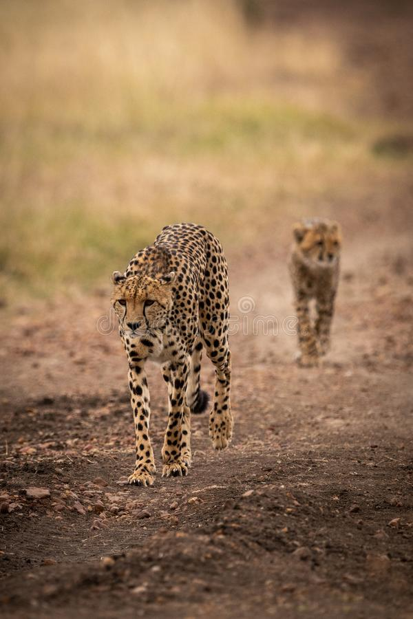 Cheetah walks down track followed by cub royalty free stock photo