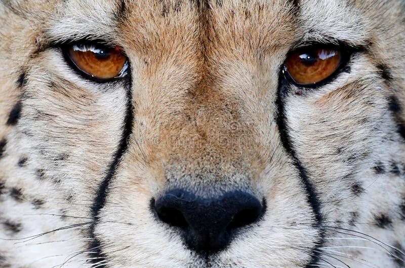 Download Cheetah Wild Cat Eyes stock image. Image of hunter, beauty - 34759005