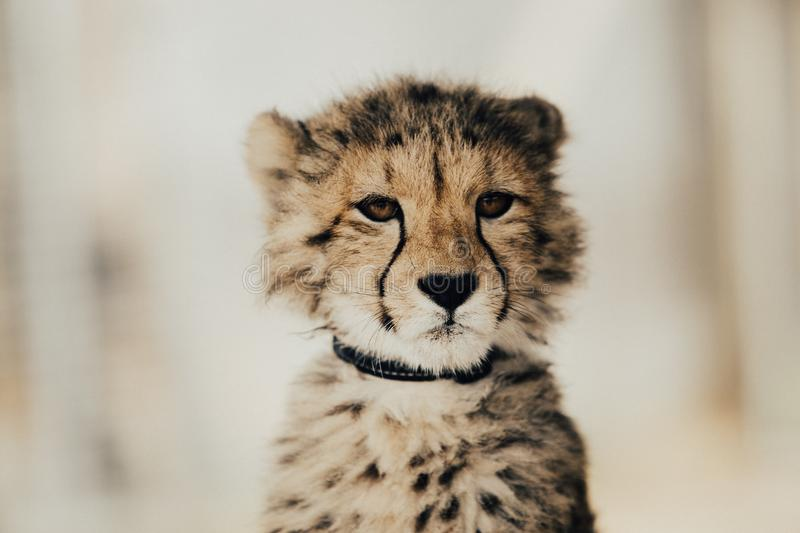Cheetah, Wildlife, Terrestrial Animal, Mammal royalty free stock photo