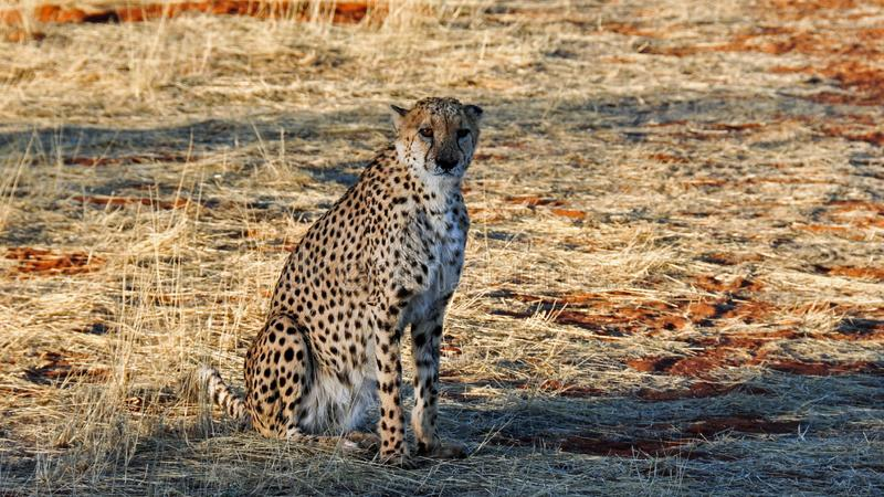 Cheetah, Wildlife, Terrestrial Animal, Mammal royalty free stock photography