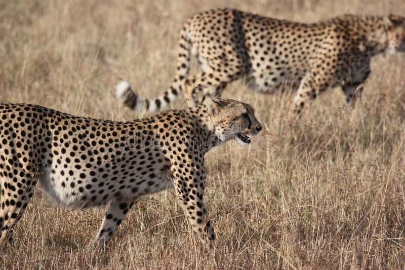 Cheetah, Wildlife, Terrestrial Animal, Mammal stock photo