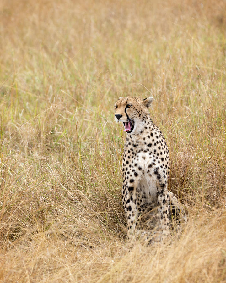 Cheetah yawn royalty free stock photography