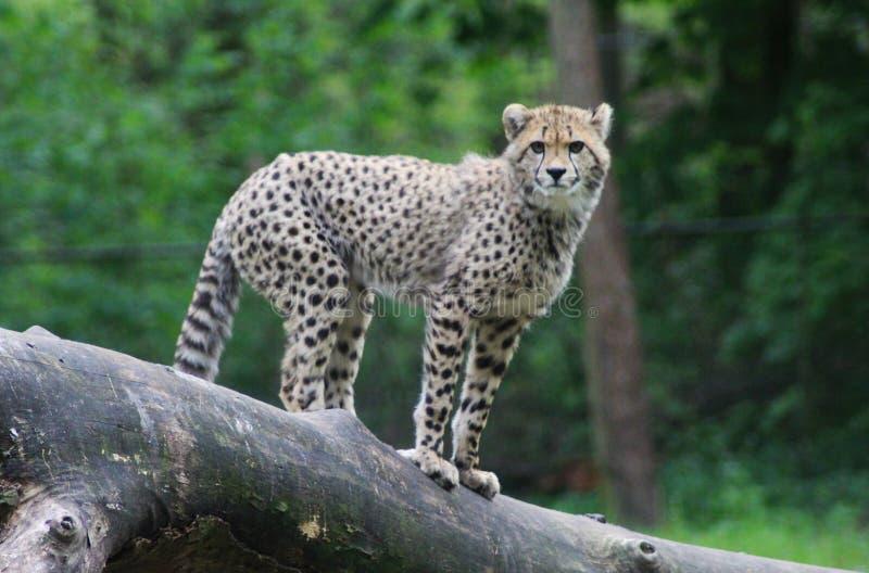Cheetah young on tree stock photos