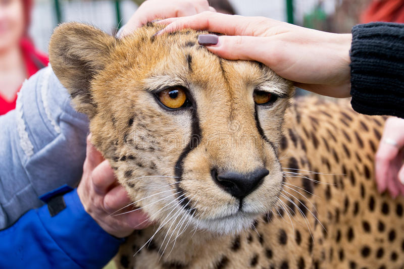 Cheetah in zoo royalty free stock image
