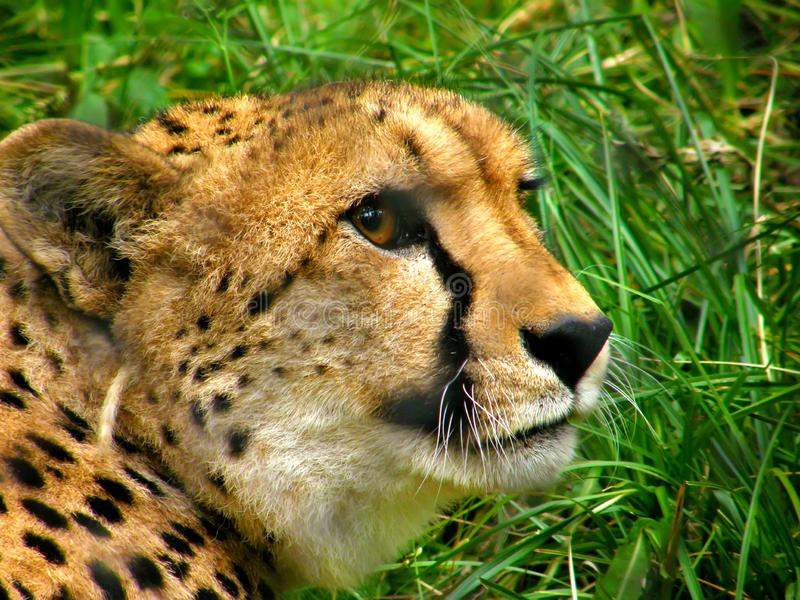 cheetah in the zoo royalty free stock photography
