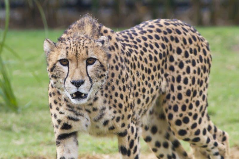 cheetahen eyes s royaltyfria bilder