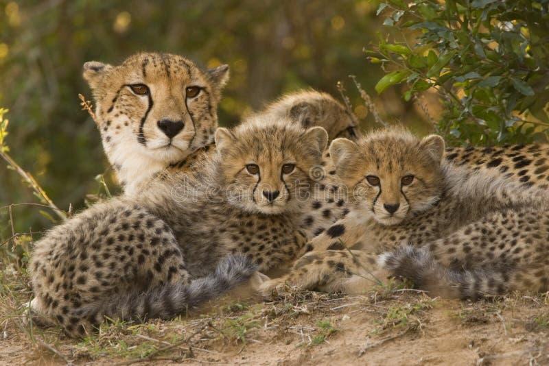 cheetahfamilj fotografering för bildbyråer