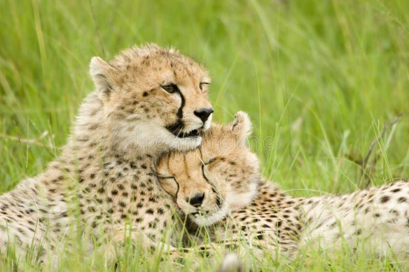cheetahgröngölingar arkivbild
