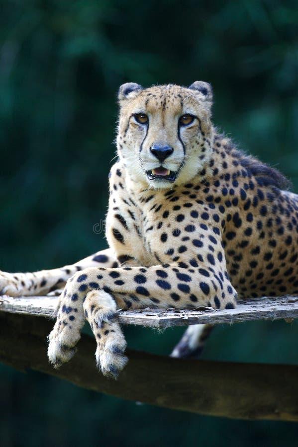cheetahkonung fotografering för bildbyråer