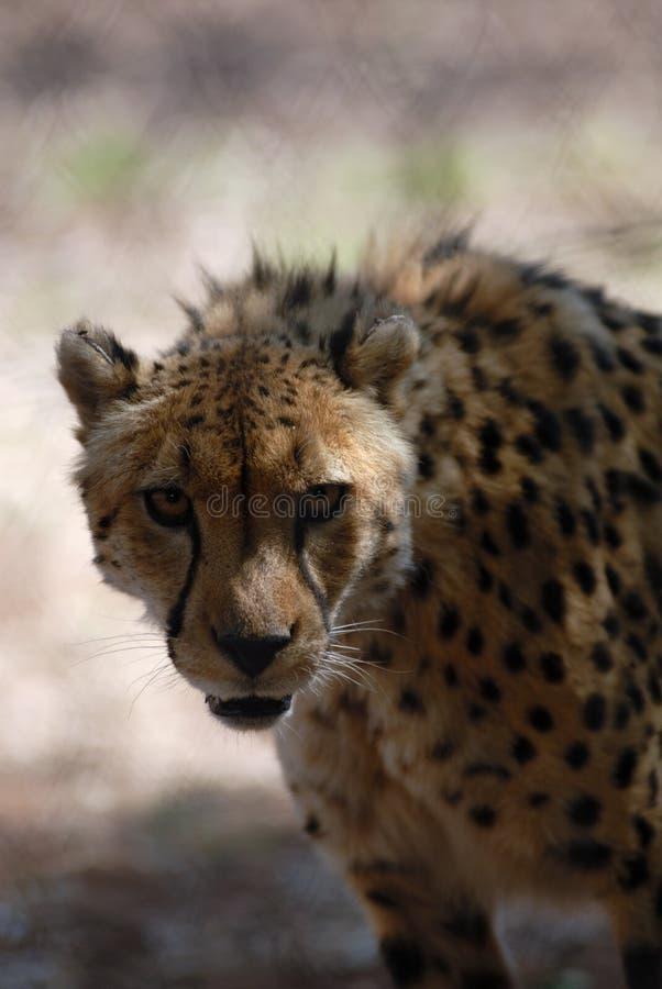 Cheetahkringstrykande Fotografering för Bildbyråer