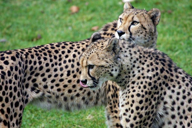 cheetahpar s royaltyfri bild