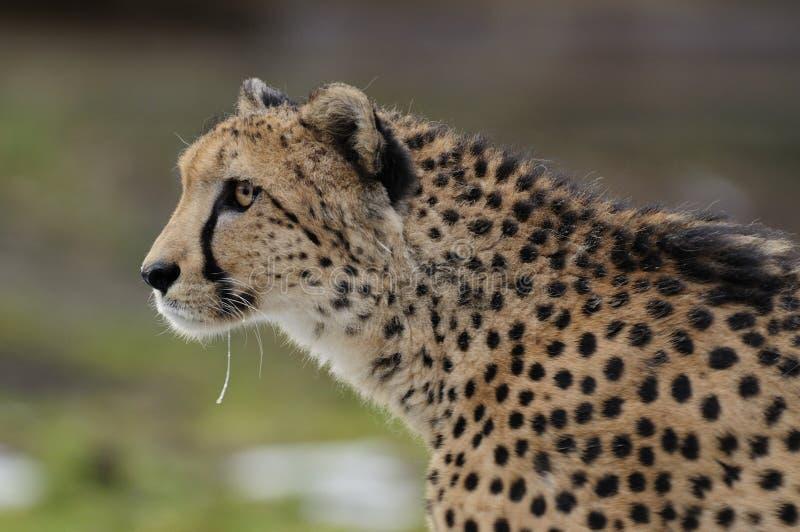 cheetahrunning arkivfoto