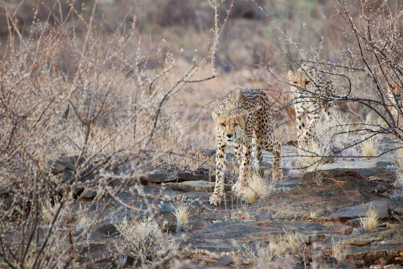 cheetahs images stock