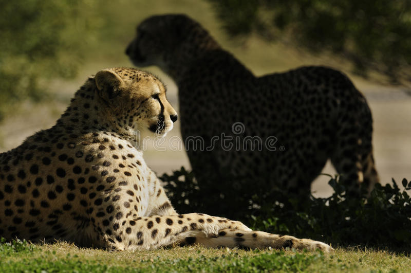 Download Cheetahs stock image. Image of hunts, gold, speed, animals - 12018621