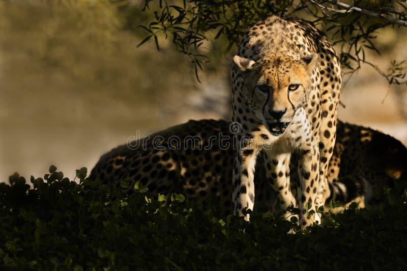 Download Cheetahs stock image. Image of cats, nature, mammals - 12018697