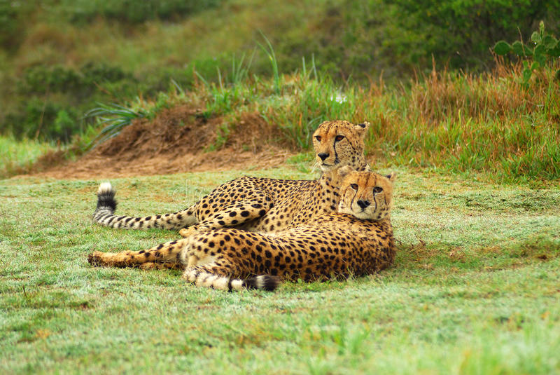 Cheetahs Stock Images