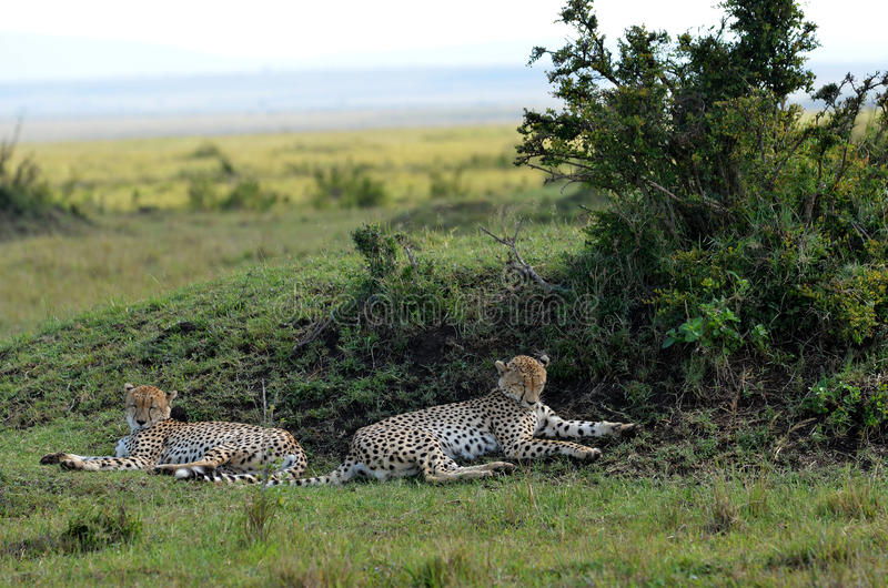 Download Cheetahs Royalty Free Stock Image - Image: 21942396