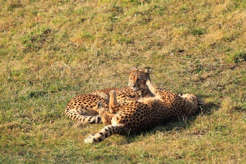 Download Cheetahs stock photo. Image of playful, suckling, animal - 28332816