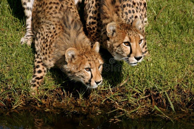cheetahs royaltyfri fotografi