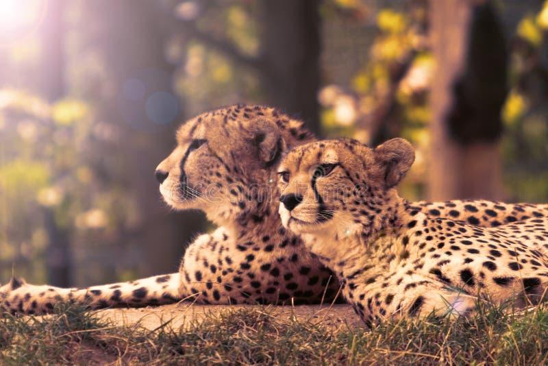 cheetahs photographie stock