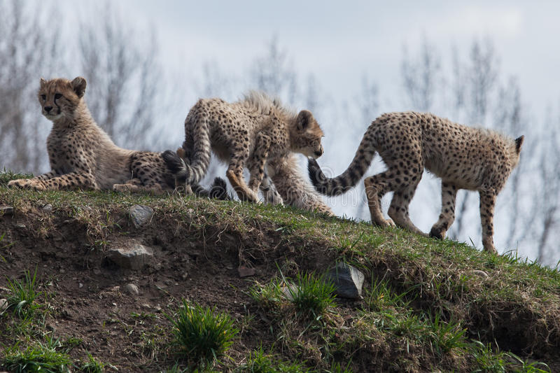 cheetahs photo stock